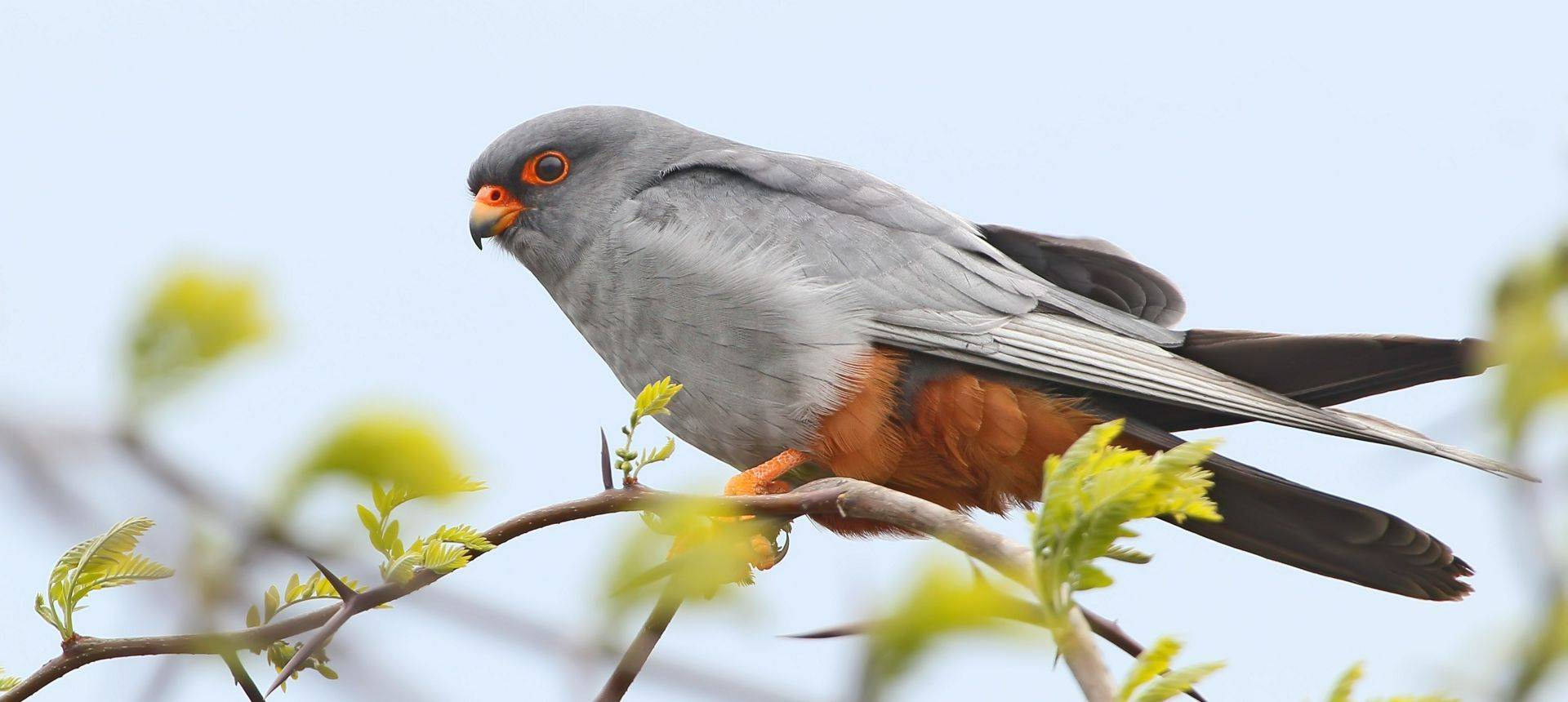 Red Footed Falcon Shutterstock 762986407
