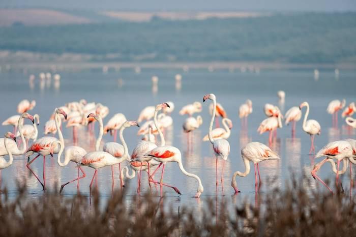Go-Slow-S Spain Greater Flamingos shutterstock_1094560361.jpg