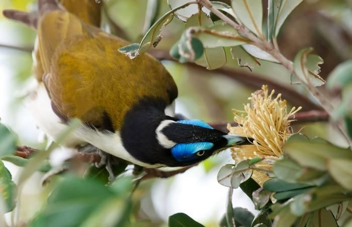 Blue-faced Honeyeater. Australia. shutterstock_76419238.jpg
