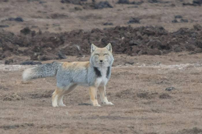Tibetan Fox (Tim Melling)