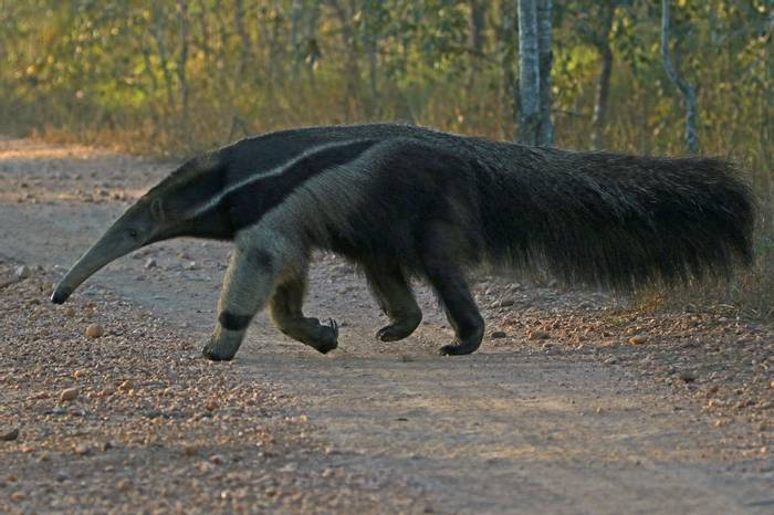 Giant Anteater (Jon Isaacs)