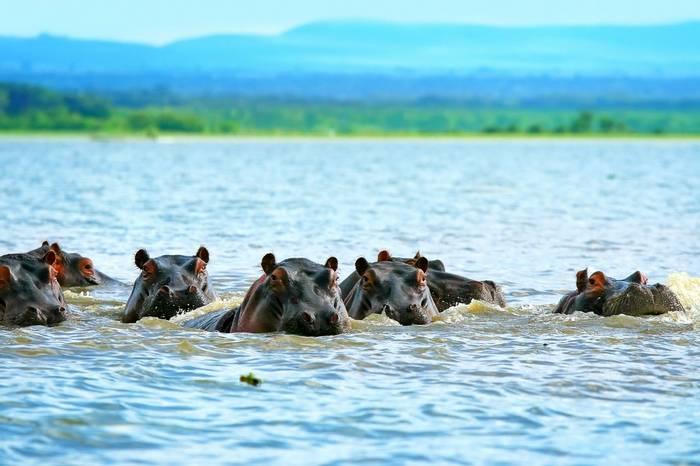 Hippos, Lake Naivasha, Kenya Shutterstock 51047299