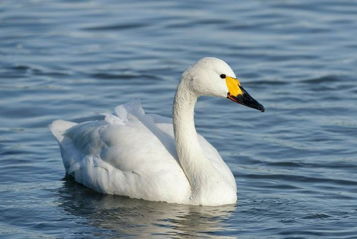 Bewick's Swan, Slimbridge, UK shutterstock_1415224901.jpg