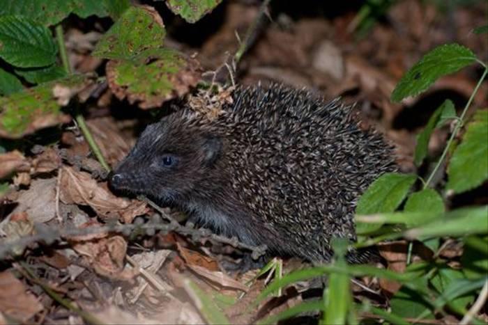 Eastern Hedgehog (Jon Stokes)