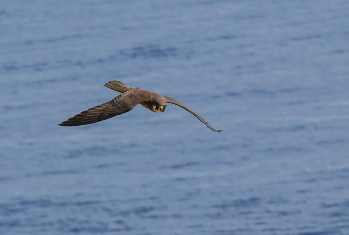 Eleonora'S Falcon Shutterstock 207545365