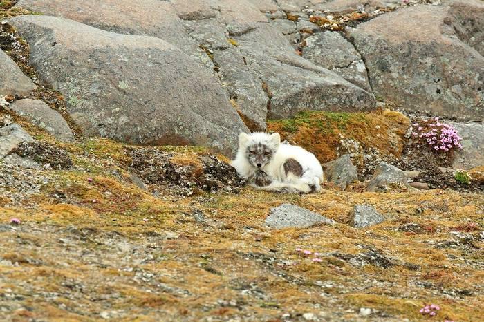 Arctic Fox (Bret Charman)