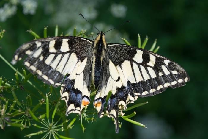 Swallowtail (Jon Stokes)