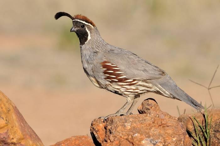 Gambel's Quail, Arizona, USA Shutterstock 550117519