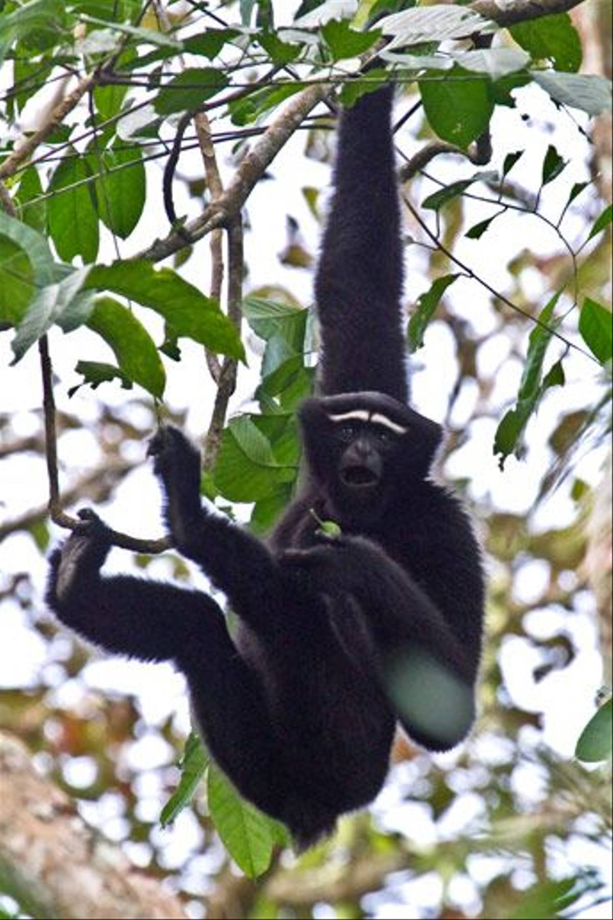 Hoolock Gibbon (Wendy Ball)
