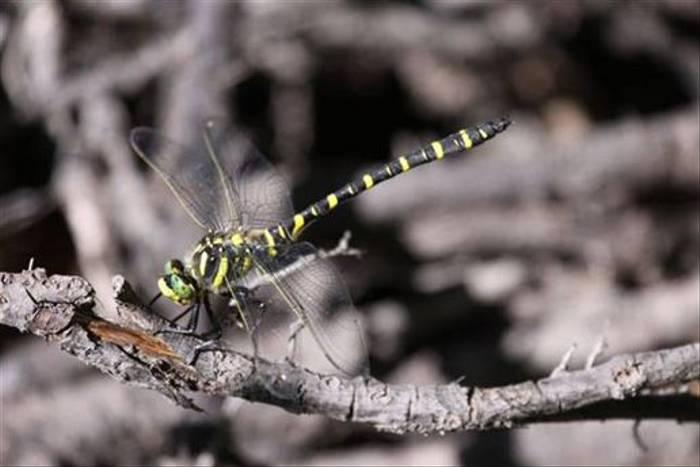Golden-ringed Dragonfly (Gerald Broddelez)