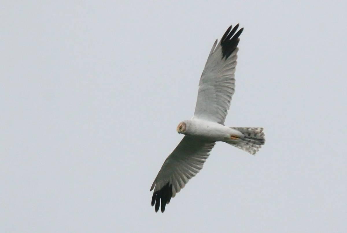 Pallid Harrier (Wim Bovens)