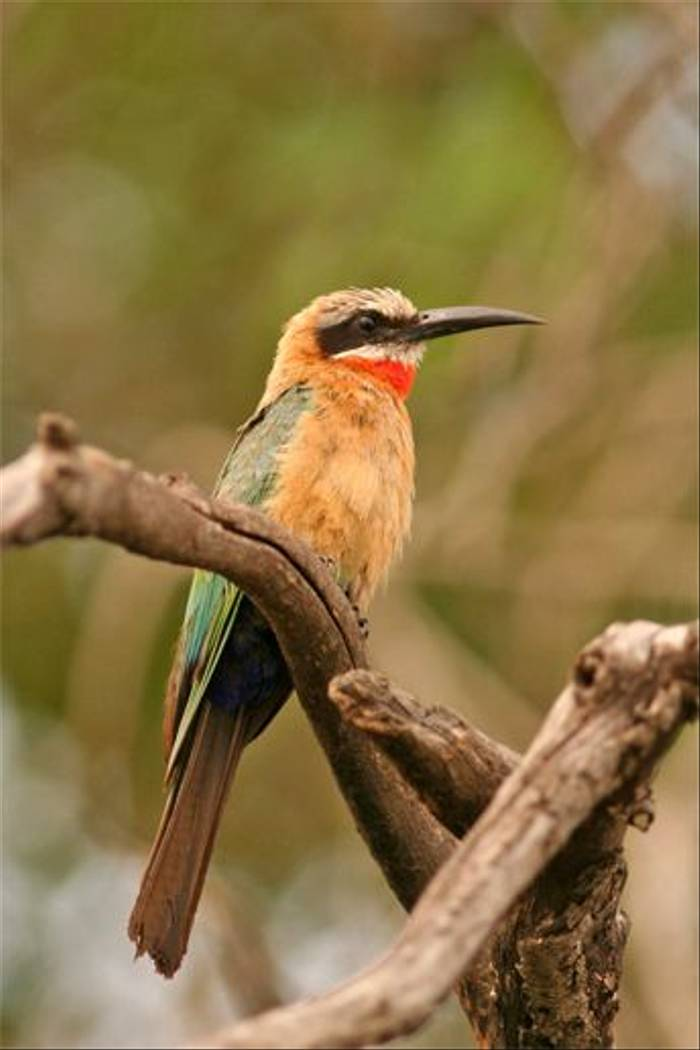White-fronted Bee-eater (Grant Atkinson)