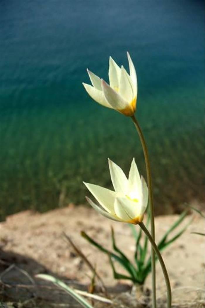 Tulipa buhsiana (John Shipton)