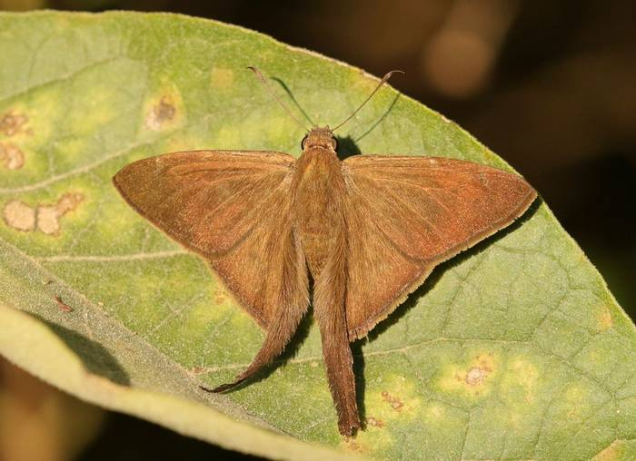 Brown Longtail (National Butterfly Center [NBC])