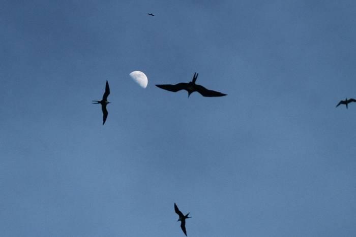 Frigatebird sp. (Andrew Lapworth).jpg