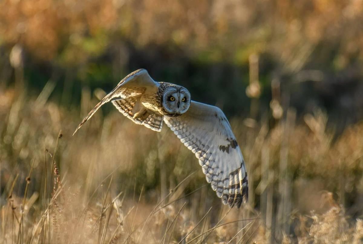 Short-eared Owl, England shutterstock_1317656309.jpg