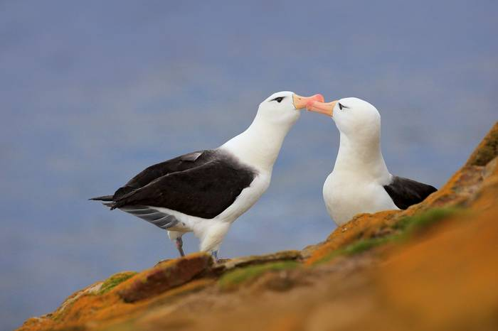 Black Browed Albatross, Falklands Shutterstock 688434100