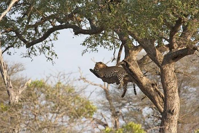 Leopard (Leon Marais)