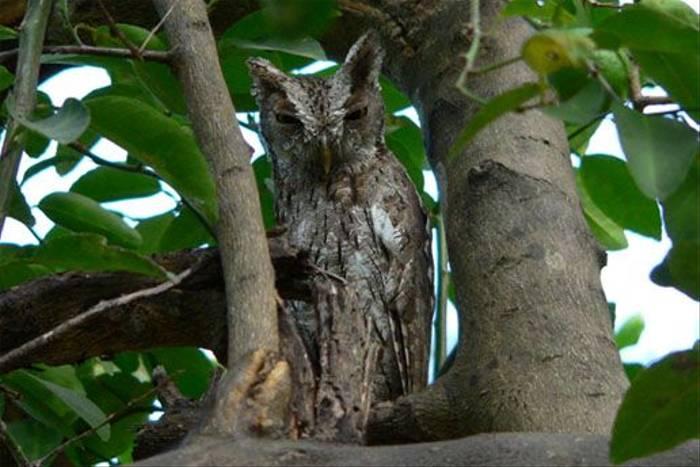 Pacific Screech Owl (John Bennett)