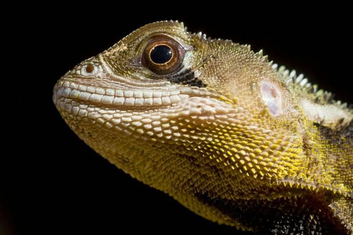 Bocourt's Dwarf Iguana (Enyalioides heterolepis)