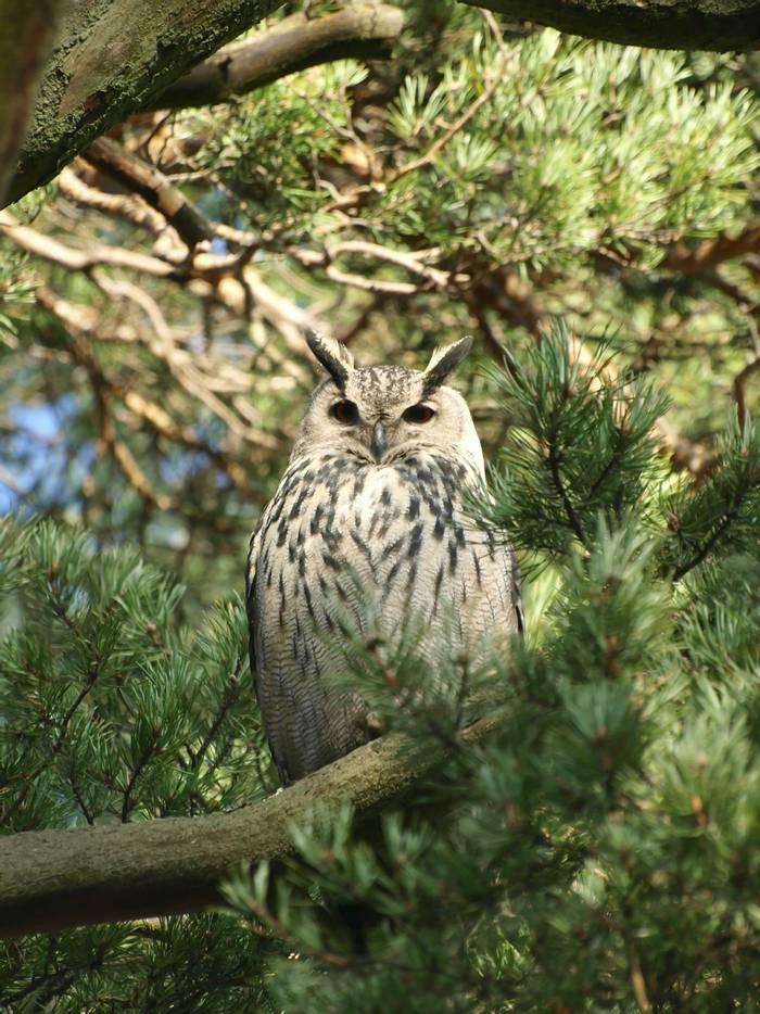 Eurasian Eagle-owl shutterstock_51245377.jpg