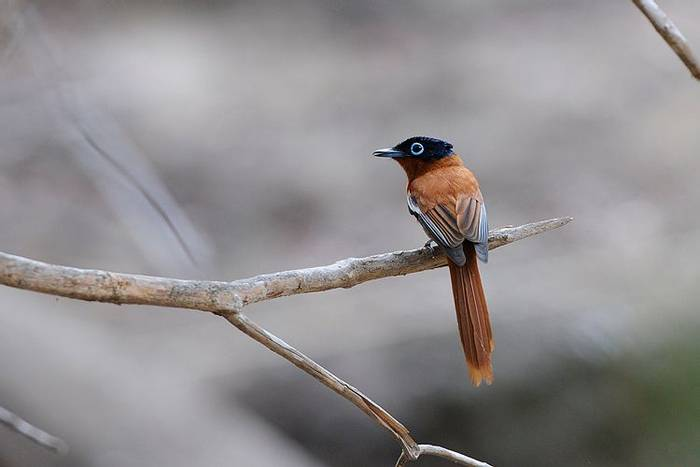 Paradise Flycatcher (Stephen Woodham)