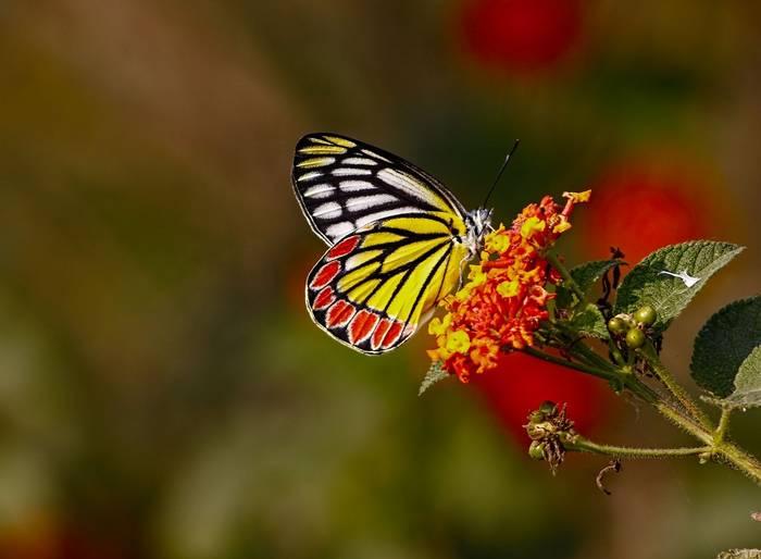 Common Jezebel Shutterstock 345716735