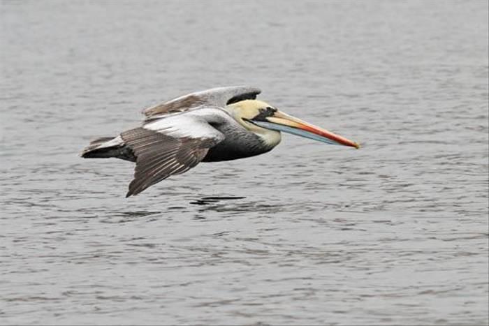 Peruvian Pelican (Roger Wasley)