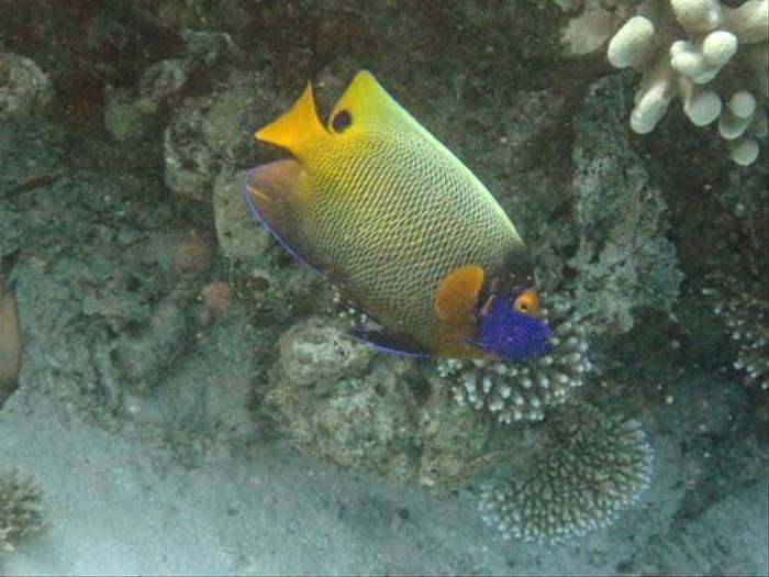 Blue-faced Angelfish (Brian W Jones)