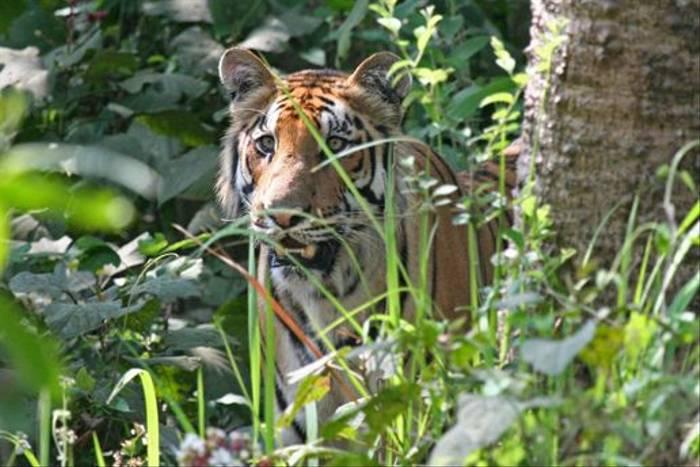 Bengal Tiger (Julian Thomas)