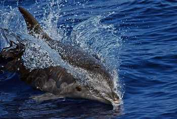Spotted Dolphin (Luis Diaz)