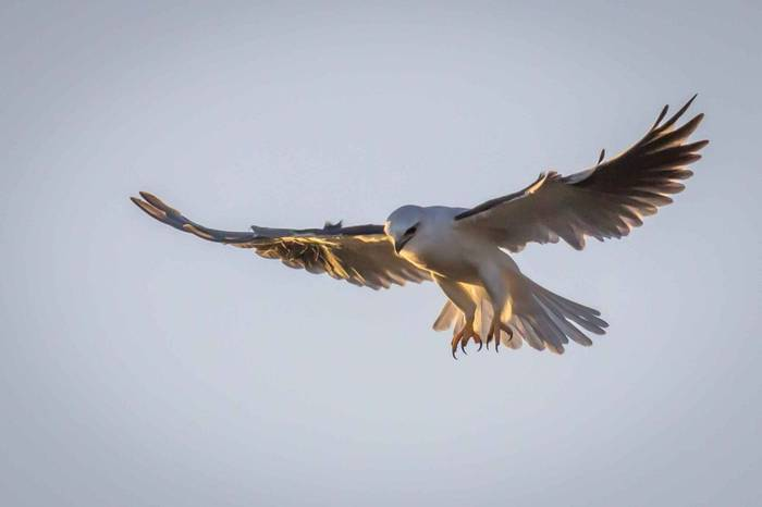 Black Shouldered Kite Shutterstock 1059408884