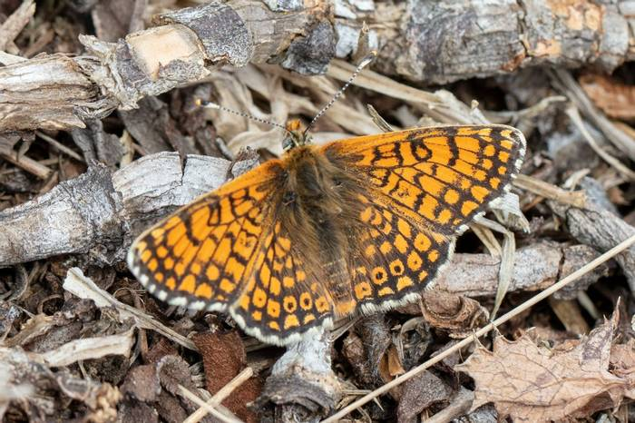 Glanville Fritillary (Andy Marquis)