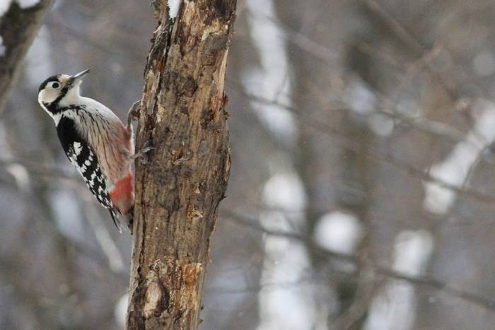 White-backed Woodpecker (Jan Kelchtermans)