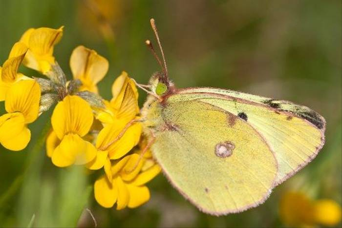 Bergers Clouded Yellow