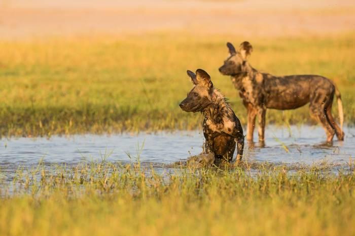 Wild Dogs Shutterstock 182984765