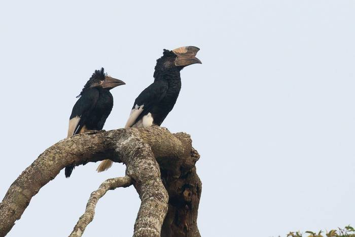 Black-and-white Casqued Hornbills, Uganda shutterstock_1041921655.jpg
