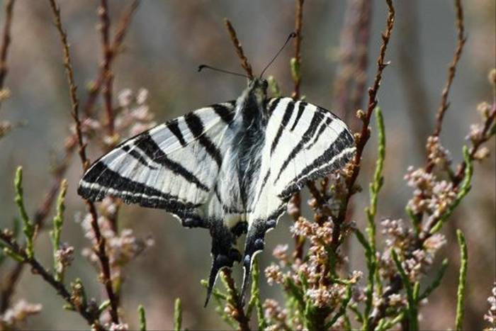 Scarce Swallowtail (Peter Spillett)