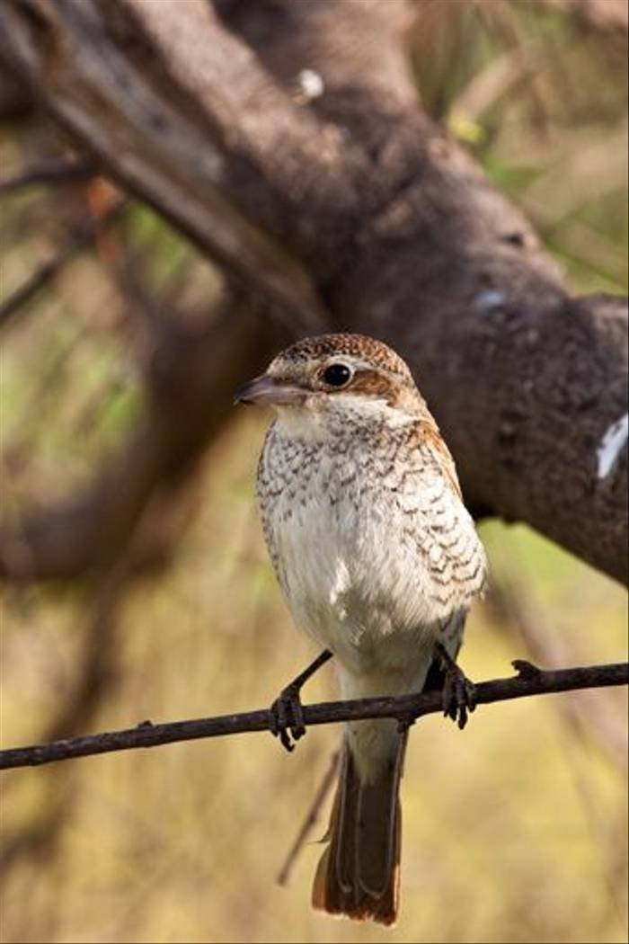 Female Masked Shrike (Dani Free)