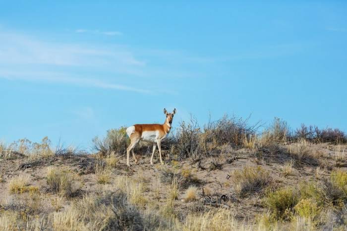 Pronghorn Antelope, Arizona Shutterstock 569145814