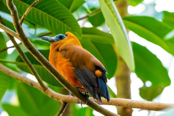 Capuchinbird shutterstock_1744010663.jpg