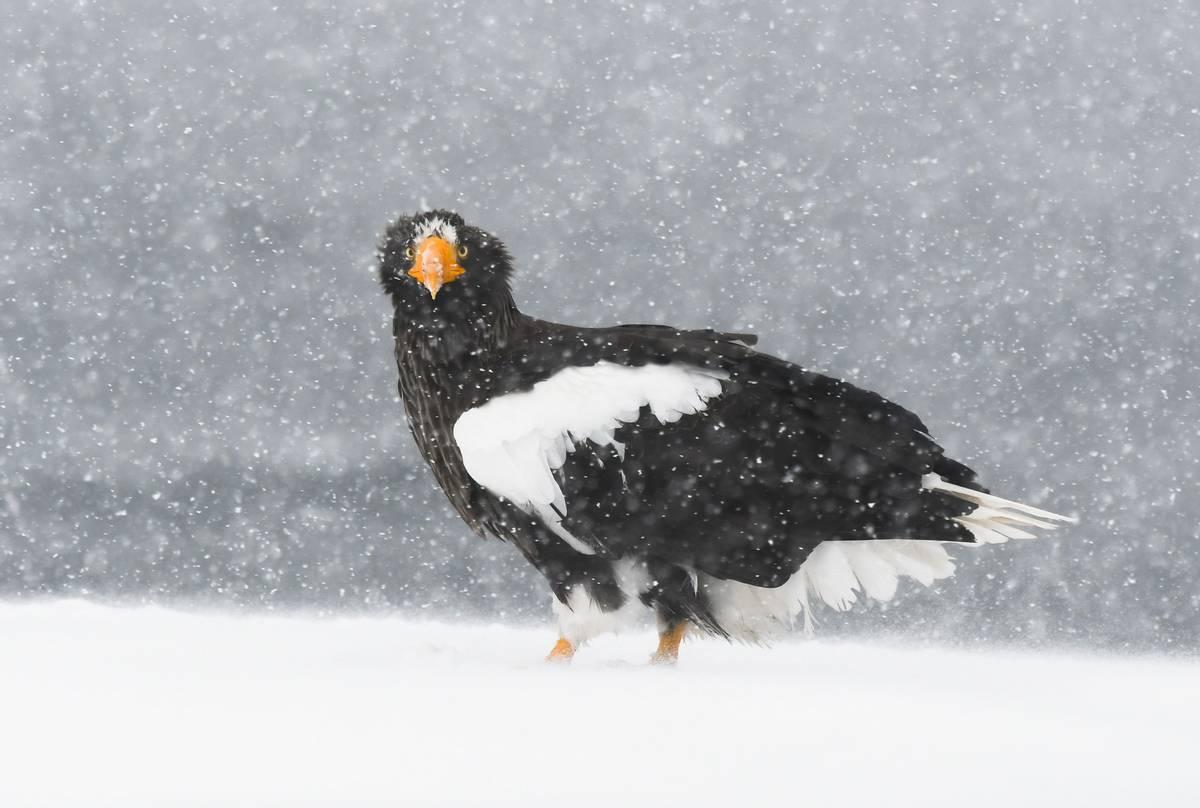 Steller's Sea Eagle.jpg