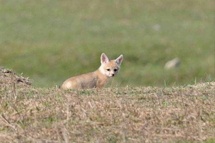 The elusive Bengal Fox, Koshi (John Keighley)