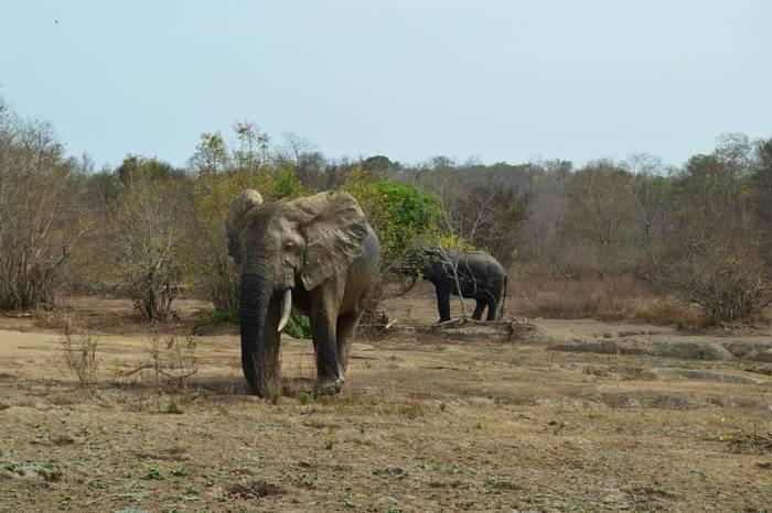 African Bush Elephant, Mole, Ghana.jpg