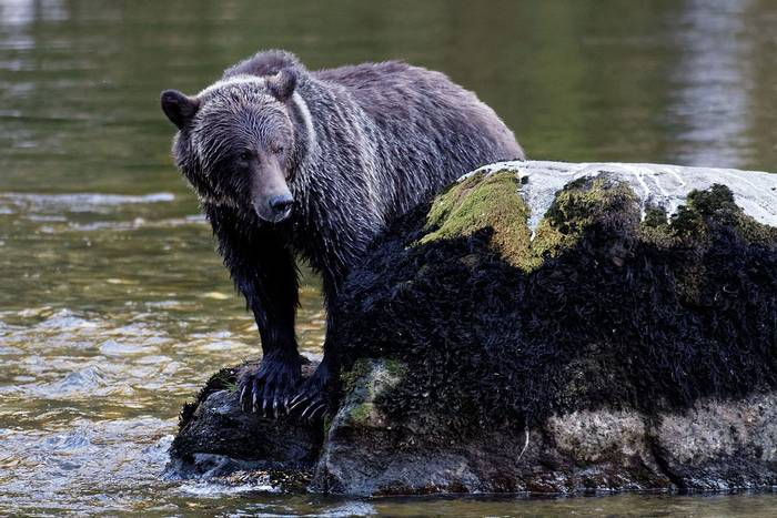 Brown Bear On Rock (Martin Potter)