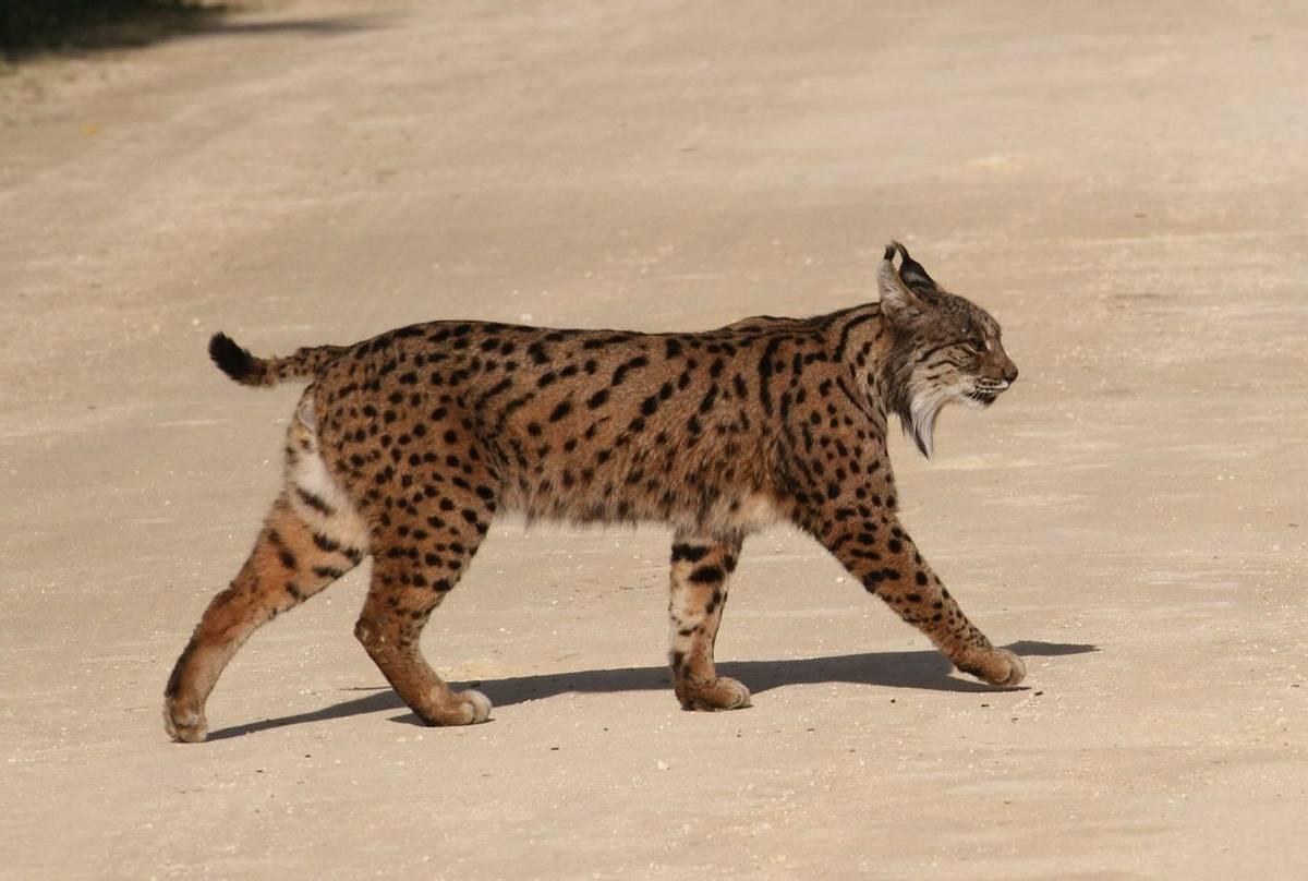 Iberian Lynx (Peter Dunn)
