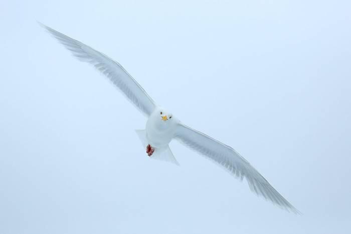 Glaucous Gull (Bret Charman)