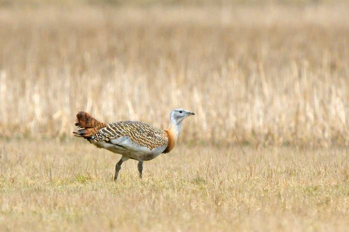 Great Bustard Shutterstock 1093234520