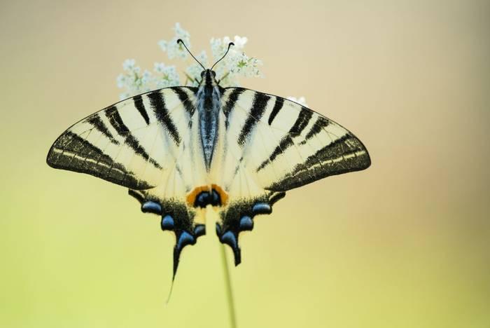 Scarce swallowtail, Italy shutterstock_486650698.jpg