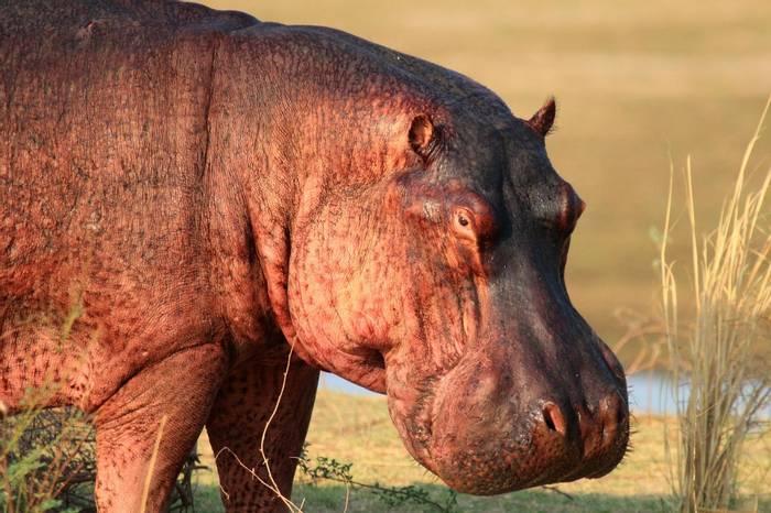 Hippo (Nick Scarle)